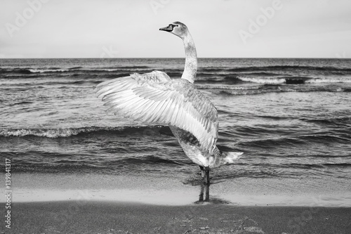 Fototapety, obrazy : Black and white picture of a mute swan stretches its wings on a beach.