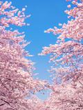 Rosa Kirschblüte im Frühling als Hintergrund