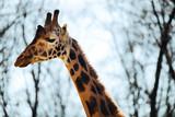 Beautiful giraffe head and neck