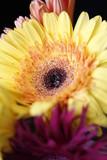 gerbera garden flowers