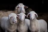 Lambs and sheep in barn - 139863338