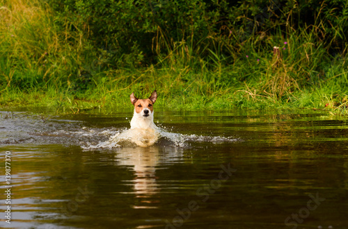 Poster Dog wading across river at ford