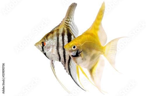 Angelfish pterophyllum scalare aquarium fish isolated on white