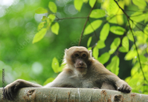 behaviors of monkey in the nature, wild macaques Poster