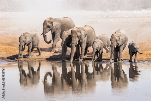 Family of African elephants drinking at a waterhole in Etosha national park Poster