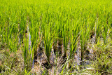 Organic green paddy rice field with water background