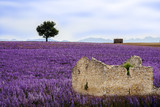 Herbs field in Provence