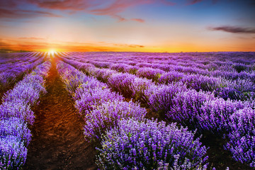 Blooming lavender field under the red colors of the summer sunse