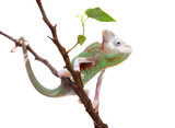 The veiled chameleon piebald, Chamaeleo calyptratus, male