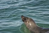 Cape Fur seal swimming in ocean off coast of South Africa