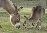 grazing Miniature Donkey and Kangaroo interact in pasture together