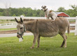 Jack Russel Terrier riding back of Miniature donkey