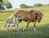 Haflinger horse and Miniature Donkey companions run in pasture