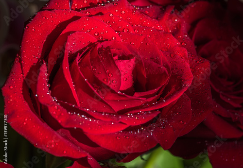 Closeup of a beautiful red rose covered with dew drops in the natural dark background.