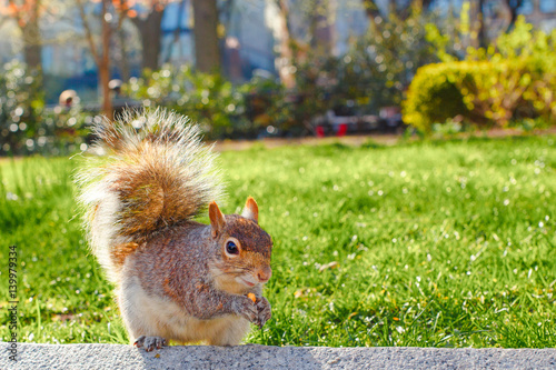 squirrel in the park green grass springtime