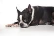 Boston terrier modeling. Isolated on white background.