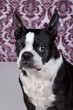 Boston terrier posing in front of a damask background.