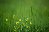 Green grass field with yellow meadow flowers suitable for backgrounds or wallpapers, natural seasonal landscape.