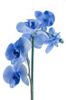 Beautifu; blue orchid flowers isolated on white background.