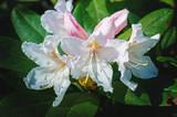 Blooming Azalea in the garden on the Bush.
