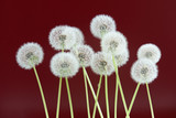 Dandelion flower on dark purple color background, group objects on blank space backdrop, nature and spring season concept.