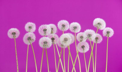 Dandelion flower on purple color background, group objects on blank space backdrop, nature and spring season concept.