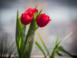 Three red tulips on the window. Shallow depth of field.