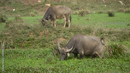 Asian water buffalo grazing in grass