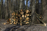 Roundwood timber stored in the woods, early spring, Chernigiv, Ukraine