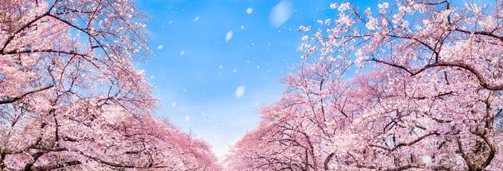 Kirschblüte Panorama im Frühling