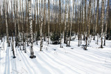 Landscape birch grove in the winter. Panorama of a snowy forest with white tree trunks of the birches. The European natural wilderness.