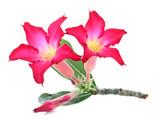 Desert Rose Impala Lily Mock Azalea isolated on white background
