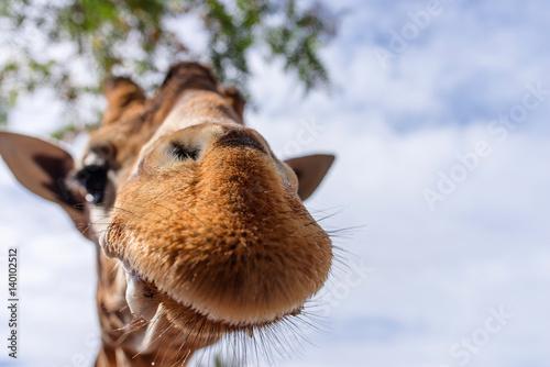 Poster drôle de girafes