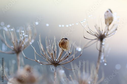 Fototapeta Serene dew drops on a frosty morning