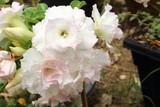 White azalea flower petals pink flower.