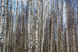 The background of thick birch groves, which stands in orderly rows - a lot of the trunks white. The nature of forests in Europe.