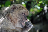 Monkey in Gibraltar in the natural environment
