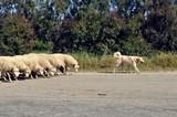 Chien et son troupeau - 140125737