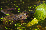 Common Frog (Rana temporaria) surrounded by frog spawn