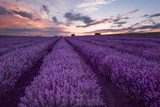 Lavender fields. Beautiful image of lavender field. Summer sunset landscape, contrasting colors. Dark clouds, dramatic sunset. - 140170984
