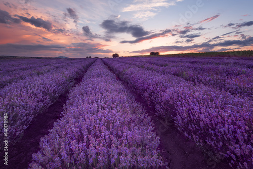 Foto op Canvas Violet Lavender fields. Beautiful image of lavender field. Summer sunset landscape, contrasting colors. Dark clouds, dramatic sunset.