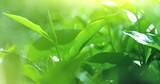 Fresh green tea leaves on blurred bokeh background grow on plantation under sun light sunshine of indian summer - 140200942