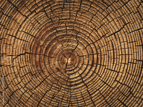 Fototapeta the age of a tree cut down , the texture of the logs