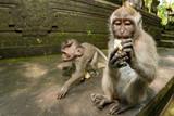 Indonesia macaque monkey ape close up portrait