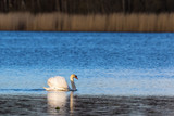 Mute swan swimming on the lake