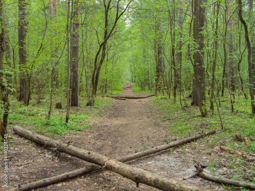 Spring forest with young greenery and with wide road at center obstructed by set of logs.