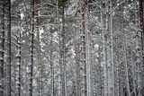 snowy winter forest in mist