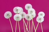 Dandelion flower on pink color background, group objects on blank space backdrop, nature and spring season concept.