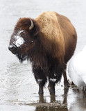 Bison, Winter, Yellowstone National Park