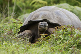 Galapagos giant tortoise (Chelonoidis porteri), Highlands, Santa Cruz, Galapagos Islands
